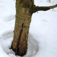 Ловчие пояса для деревьев своими руками