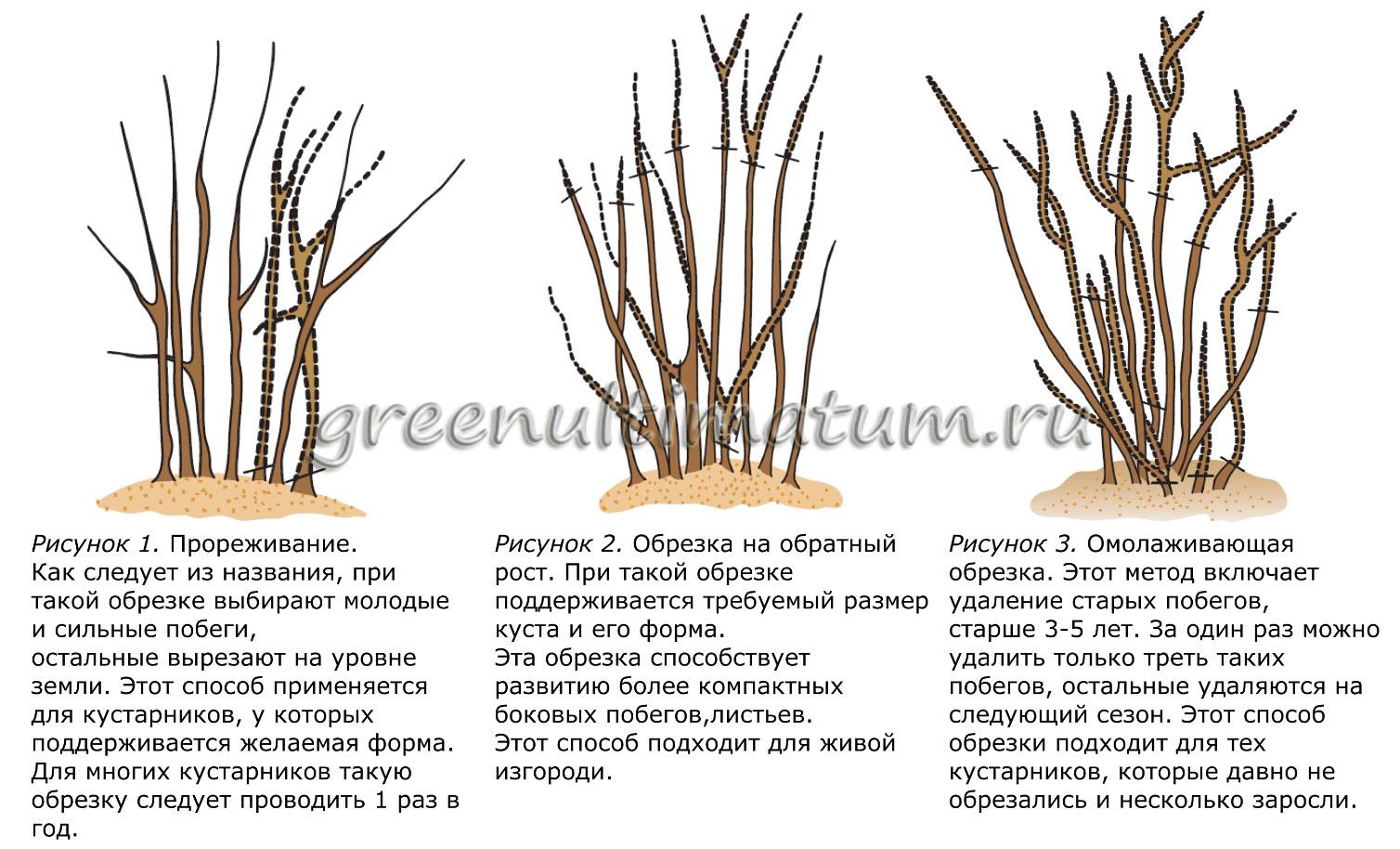 Обрезка старых кустов смородины осенью схема