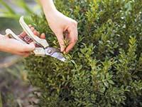 Выращивание кустарников