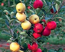 Урожайность плодовых деревьев